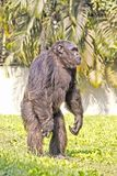 Staying Chimpanzee Royalty Free Stock Photo