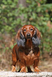 Staying dog Royalty Free Stock Image