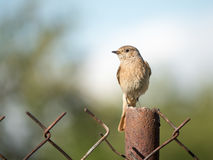 Staying on watch. Famale of Common redstart staying on fence Stock Images
