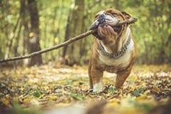 Staylish English bulldog Stock Photography