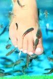 Stazione termale dei pesci - Rufa Garra Fotografia Stock Libera da Diritti
