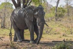 Stazione termale dell'elefante Fotografia Stock