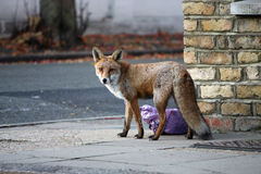 Städtischer Fox Stockfoto