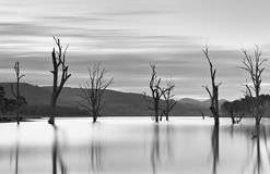 Steadfast trees emerge from the lakes waters. Stock Images