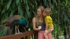 Steadicam参观鸟公园的射击了年轻女人和她的小儿子 Toursts支持印度孔雀 影视素材