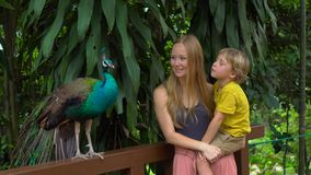Steadicam参观鸟公园的射击了年轻女人和她的小儿子 Toursts支持印度孔雀 股票视频