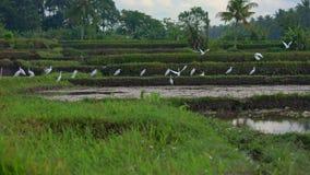 Steadicam射击了白色苍鹭群在被归档的米的 领域用泥泞的水报道并且为米准备 股票视频