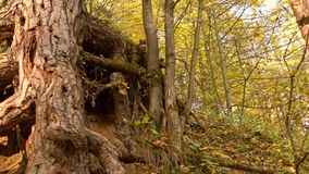 Steadicam που βλασταίνεται των ριζών δέντρων στο ηλιόλουστο δασικό 4K βίντεο φθινοπώρου φιλμ μικρού μήκους