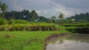 Steadicam сняло стада белых цапель на хранят рисе, который Поле покрыто с грязной водой и подготовлено для риса видеоматериал