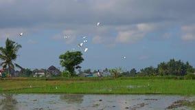 Steadicam сняло стада белых цапель на хранят рисе, который Поле покрыто с грязной водой и подготовлено для риса сток-видео