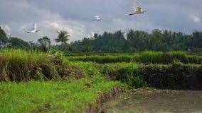 Steadicam сняло стада белых цапель на хранят рисе, который Поле покрыто с грязной водой и подготовлено для риса акции видеоматериалы