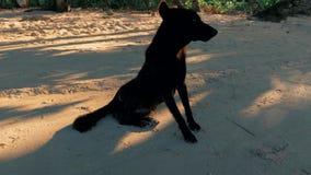 Steadicam сняло черной случайной собаки улицы сидя на песчаном пляже на заходе солнца видеоматериал