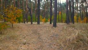 Steadicam сняло красивого леса осени с соснами акции видеоматериалы