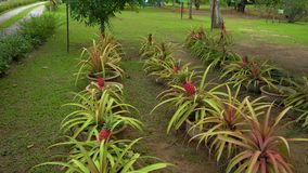 Steadicam shot of a group of pineapple plants with pineapple fruits on them.  stock video footage