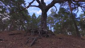 Steadicam shot of tree roots in a forest. Lake coast. Beach. Nature landscape. Slow motion footage stock footage