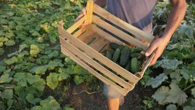 Young male farmer picking cucumber at organic eco farm stock video footage