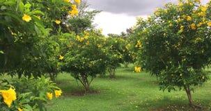 Steadicam tiró de las flores de la anciano o de los stans amarillos hermosos del tecoma en el jardín que se sacudía con el viento almacen de video