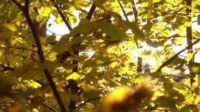 Steadicam van zon wordt geschoten die hoewel gele bladeren in de herfst bos4k video die glanzen stock videobeelden
