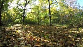 Steadicam vuela con fila del árbol Vídeo estabilizado del paseo del otoño con el sol que mira a escondidas detrás de árboles almacen de video