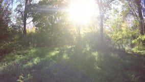 Steadicam vuela con fila del árbol Vídeo estabilizado del paseo del otoño con el sol que mira a escondidas detrás de árboles almacen de metraje de vídeo