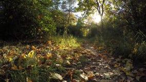 Steadicam vuela con fila del árbol Vídeo estabilizado del paseo del otoño con el sol que mira a escondidas detrás de árboles metrajes
