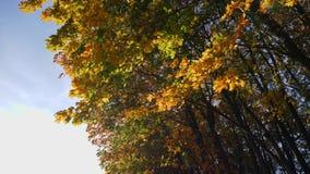 Steadicam vuela a lo largo de árboles del otoño almacen de video