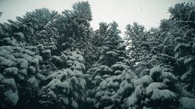 Steadicam walk along snowy trees in snowfall. Steadicam walk along snowy trees stock footage