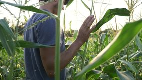 Young farmer checking progress of corn cobs growth on the field of organic farm. stock footage