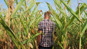 Steadicam young farmer checking progress of corn cobs growth. On the field of organic eco farm. Man checking corn cob for ripe and pests. Back view of farmer stock video
