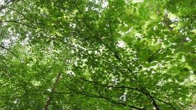 Steadicampov perspectief die recht omhoog bomen in bos bekijken terwijl het lopen stock videobeelden