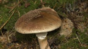 Large Mushroom Cap and Stem. Steady, close up shot of the cap and stem of a large cremini mushroom stock video