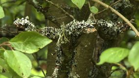 Mossy Growth on Tree Bark. Steady, close up shot of moss growing on tree branches stock footage