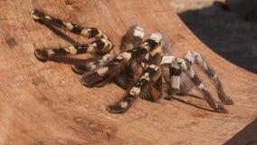 Striped Knee Tarantula on Board. Steady, close up shot of a striped knee tarantula on a wooden board stock video footage