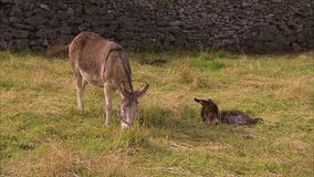 Two cute donkey on the field. A steady close up shot of a two donkeys lying down on green grass stock footage