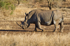 Steady but explosive. White rhino in Kruger National Park, south Africa Stock Photo