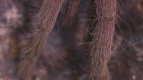 Hairy tarantula legs. Steady, extreme close up shot of hairy tarantula legs, the legs abruptly move stock footage