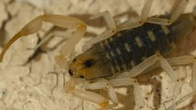 Head of Small Scorpion. Steady, high angle, close up shot of the head of a Northern scorpion stock video footage