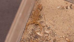 Scorpion on Sandy Ground. Steady, high angle, medium close up of a Buthidae scorpion sitting still on sandy ground stock footage