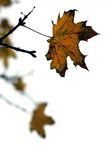 Steady late autumn leaf Stock Photos