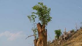 The revival of a cut off tree. A steady, low angle, medium shot showing the revival of a cut off tree, with fresh and green branches growing from its remains stock footage