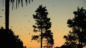 Large bats hang from branches. Steady, low angle, medium wide shot of Pteropus bats hanging from tree branches stock video