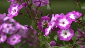 Bumblebee Pollinating Pink Flower. Steady, medium close up shot of a bumblebee pollinating a pink flower stock footage