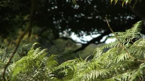 Fern Leaves and Large Tree. Steady, medium close up shot of fern leaves and large shaded tree in the background stock footage