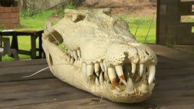 Saltwater Crocodile Skull. Steady, medium close up shot of a saltwater crocodile skull and teeth stock video