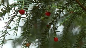 Yew Tree With Arils On Branches. Steady, medium close up shot of a yew tree Taxus baccata with arils hanging on the branches stock video footage