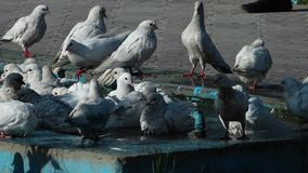 Pigeons taking a bath. A steady, medium shot of a bunch of pigeons taking a bath in a public blue fountain, on a hot day stock video