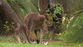 Adult and child kangaroos. Steady, medium wide shot of an adult and baby kangaroo stock video footage