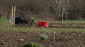 Hogs In Fenced-In Area. Steady, medium wide shot of hogs in a fenced-in area. One hog pushes the other to the side stock video footage