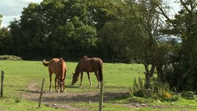 Horses In Field And Behind Trees stock footage