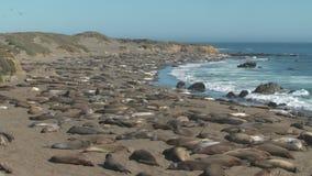 Large pod of seals laying on shoreline